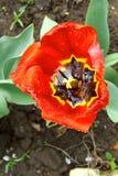 Tulipán rojo después del cierre de la lluvia para arriba Visión desde arriba Imagen de archivo libre de regalías