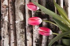 Tulipán rojo en abedul Fotografía de archivo