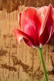 Tulipán rojo en fondo de la corteza de abedul Foto de archivo libre de regalías