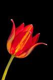 Tulipán rojo en negro Foto de archivo libre de regalías