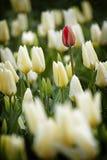 Tulipán rojo en un mar del blanco Imágenes de archivo libres de regalías