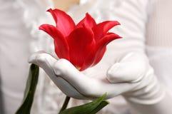 Tulipán rojo en una mano de la mujer Fotos de archivo