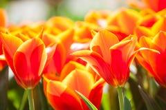 Tulipán rojo floreciente Fotografía de archivo libre de regalías