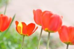 Tulipán en el campo Fotos de archivo