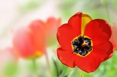 Tulipán en el campo Fotos de archivo libres de regalías