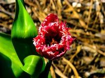 Tulipán rojo hermoso en el día soleado - detalle en la flor fotografía de archivo libre de regalías