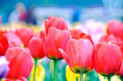 Tulipán rojo hermoso y elegante después de la lluvia fotografía de archivo libre de regalías