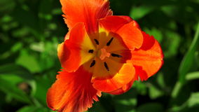 Tulipán rojo 4K almacen de video