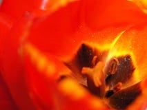Tulipán rojo para el fondo Foto de archivo libre de regalías