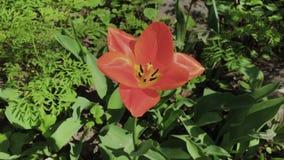 Tulipán rojo solo en hierba verde en un día soleado