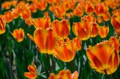 Tulipán rojo y amarillo Fotografía de archivo