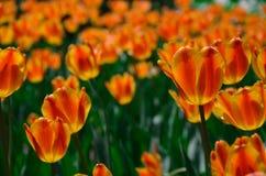 Tulipán rojo y amarillo Foto de archivo libre de regalías