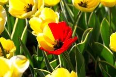 Tulipán rojo y amarillo Imagen de archivo libre de regalías