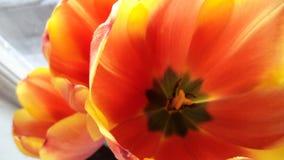 Tulipán rojo y amarillo en la ventana imagenes de archivo