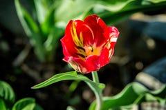 Tulipán rojo y amarillo hermoso Imagenes de archivo