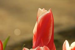 Tulipán rojo y blanco Imágenes de archivo libres de regalías