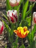 Tulipán rojo y blanco con el tulipán amarillo y anaranjado foto de archivo libre de regalías