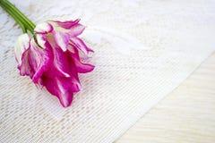 Tulipán, rosa blanco, en un fondo blanco del cordón, espacio para el texto, visión superior Fotografía de archivo libre de regalías