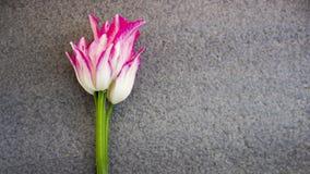 Tulipán, rosa blanco, en un fondo gris Fotos de archivo libres de regalías