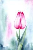 Tulipán rosado Fotos de archivo libres de regalías