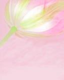 Tulipán rosado Fotografía de archivo libre de regalías