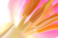 Tulipán rosado Foto de archivo