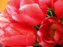 Tulipán rosado Fotos de archivo