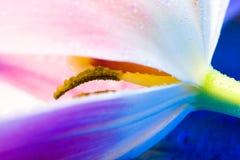 Tulipán rosado abstracto Fotos de archivo libres de regalías