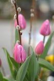 Tulipán rosado con el sauce de gatito Foto de archivo