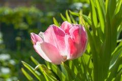 Tulipán rosado de Terry en el jardín Foto de archivo