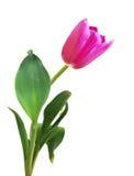 Tulipán rosado del resorte Fotografía de archivo libre de regalías