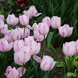 Tulipán rosado en Keukenhorf imagen de archivo