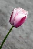 Tulipán rosado en la floración en primavera temprana Foto de archivo