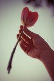 Tulipán rosado en la mano correcta de la mujer Chica joven con joyería de oro en los fingeres que sostienen una flor Foto de archivo libre de regalías
