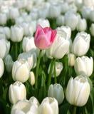 Tulipán rosado en un mar de los tulipanes blancos Fotos de archivo libres de regalías