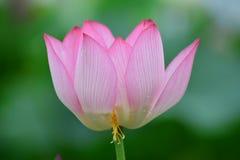 Tulipán rosado encantador Fotografía de archivo