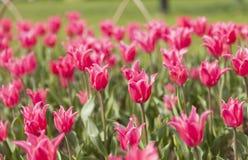 Tulipán rosado floreciente Imágenes de archivo libres de regalías