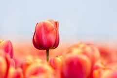 Tulipán rosado fotografiado con un foco selectivo Fotografía de archivo