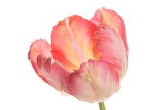Tulipán rosado hermoso en un fondo blanco Imagen de archivo