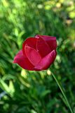 Tulipán rosado oscuro Imagen de archivo libre de regalías