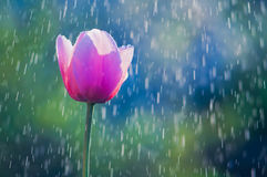 Tulipán rosado y púrpura en descensos del agua en la lluvia de primavera Fotografía de archivo