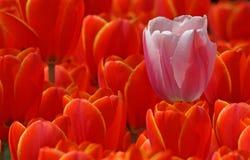 Tulipán rosado y rojo unos Imagen de archivo libre de regalías