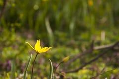 Tulipán salvaje amarillo (tulipán de Bieberstein) Fotografía de archivo