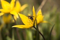Tulipán salvaje amarillo (tulipán de Bieberstein) con la abeja Imágenes de archivo libres de regalías