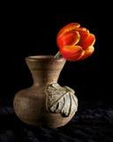 Tulipán solo Fotografía de archivo libre de regalías