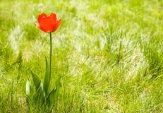 Tulipán solo de la flor al aire libre. Copie el espacio Imágenes de archivo libres de regalías