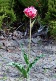 Tulipán solo en un fondo verde, creciendo en la tierra en el campo Imagen de archivo libre de regalías
