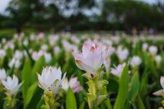 Tulipán Tailandia Foto de archivo libre de regalías