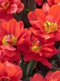 Tulipán temprano Abba del doble rojo Foto de archivo