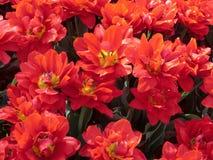 Tulipán temprano Abba del doble rojo Imagen de archivo libre de regalías